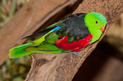 Red winged parrot Stock Images