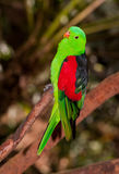Red winged parrot Stock Image