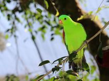 Red-winged parrot Stock Photo