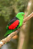 Red-winged parrot Royalty Free Stock Photos