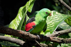 Red-winged Parrot on Tree Limb Royalty Free Stock Photography