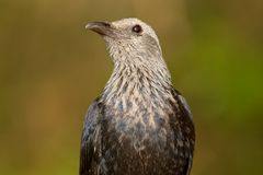 Red-winged starling Royalty Free Stock Photography