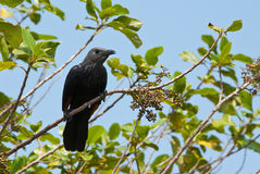 Red-winged Starling Royalty Free Stock Images