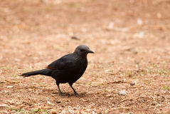 Red-winged Starling Stock Photography