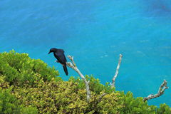 Red-winged starling Stock Photos