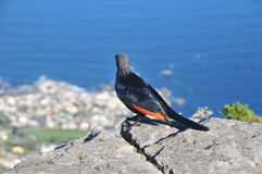 Red-winged starling in cape town Stock Image