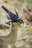Red-winged Starling and klipspringer in Kruger National park, So Stock Photography