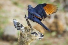 Red-winged Starling and klipspringer in Kruger National park Stock Photo