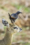 Red-winged Starling and klipspringer in Kruger National park Royalty Free Stock Images