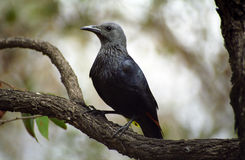 Red-winged starling, Kruger National Park, South African Republi Stock Photography