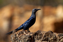 Red-winged Starling Onychognathus morio Royalty Free Stock Image