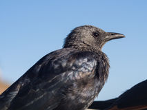 Red-winged starling Stock Photo