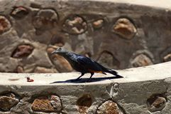 Red-winged Starling Stock Images