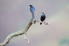 Red-winged starling pair sit on dry branch with spread wings Royalty Free Stock Photos