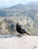 Red Winged Starling Royalty Free Stock Image