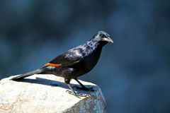 Red-winged starling,South Africa Stock Image