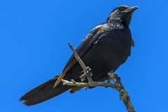 Red-winged Starling, South Africa Royalty Free Stock Photo