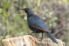Red-winged starling Royalty Free Stock Image