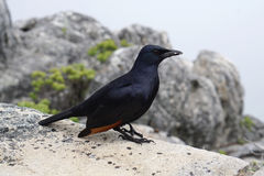 Red winged starling on Table mountain in Cape Town, South Africa Royalty Free Stock Photo