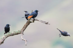 Red-winged starling take off from a dry branch Royalty Free Stock Photos
