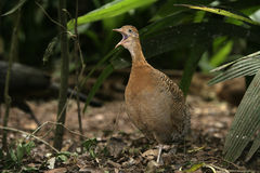 Red-winged tinamou, Rhynchotus rufescens. Single bird on floor, Brazil stock images