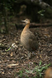 Red-winged tinamou, Rhynchotus rufescens. Single bird on floor, Brazil stock photos