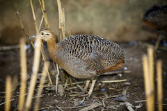 Red-winged tinamou, Rhynchotus rufescens, single bird on floor,. Brazil royalty free stock images