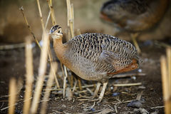 Red-winged tinamou, Rhynchotus rufescens, single bird on floor,. Brazil stock images