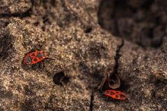 Red-winged wingless - een gewoon aards insect van de familie die van rood-klauwen, 9-11 mm meten stock afbeelding