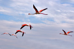 Red wings. Flying flamingos in Kamarg preserve on Mediterranean Sea coast royalty free stock photography