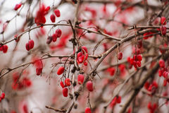 Red winter berries Royalty Free Stock Photo