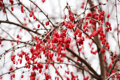 Red winter berries Royalty Free Stock Images