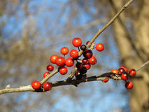 Red winter berries on a twig, Possumhaw Stock Photo