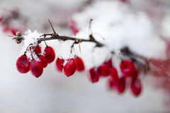 Red winter berries under snow Royalty Free Stock Image