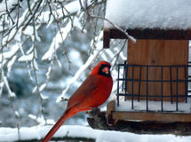 Red Winter Cardinal Eating. Funny male northern cardinal perched at a bird feeder with head turned to the side, eating bird seed. Red Winter Cardinal Eating Royalty Free Stock Photos