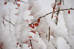 Red winter fruits under the snow stock photography