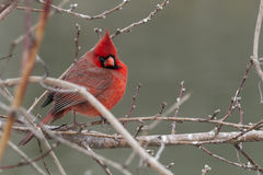 Red in Winter Stock Image