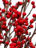 Red Winterberry Holly stock photos