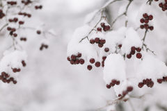 Red winterberry and snow Royalty Free Stock Images
