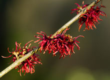Red Witch Hazel Flowers. In winter royalty free stock photo