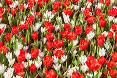 Red and withe Tulips blooming bed  Springtime Stock Images