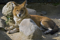 Red wolf 1 Royalty Free Stock Photography