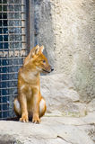 Red wolf. In zoo stock photo