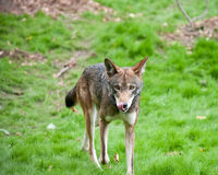 Red wolf. Walking by itself Royalty Free Stock Image