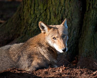 Red wolf royalty free stock photos