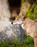 Red wolf Stock Photos