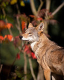 Red wolf stock photo