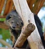 Bearcat  Stock Photos