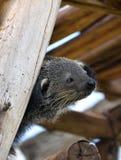 Bearcat  Stock Photo