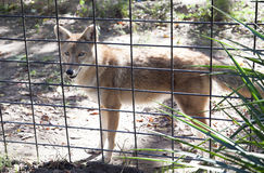 Red Wolf Canis rufus Royalty Free Stock Image